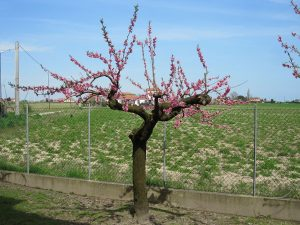 Peach tree blooming in spring